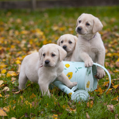 aquamarine-wave-labradors-retriever-1