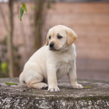 aquamarine-wave-labradors-retriever-2