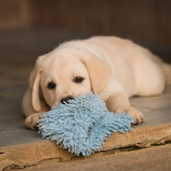 aquamarine-wave-labradors-retriever-8
